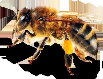 Včely robotnice